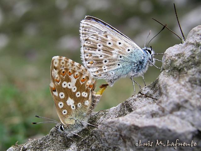 Vouyeur  y cópula de Lysandra coridon asturiensis