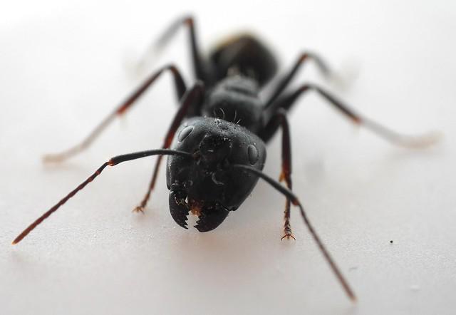Carpenter Ant, Camponotus, Macro Taken with a Samsung L200 mini-compact digital camera using a Raynox MSN-202