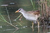 White-browed Crake by myrontay