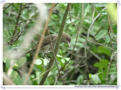 20041023_Guana@BVI_Pearly-eyed Thrasher_009_A | by rosstsai