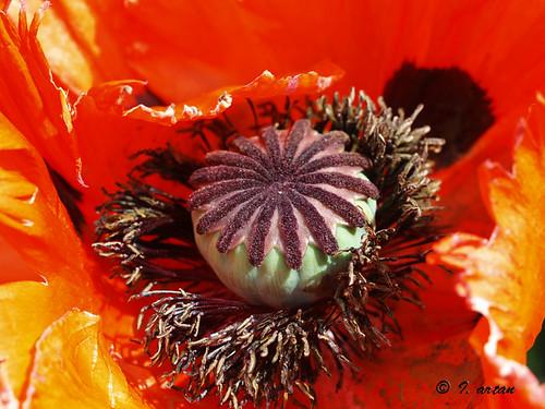 Poppy II | by eyewitness of moment