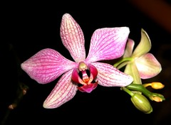 Orchid   by Vijay Barve