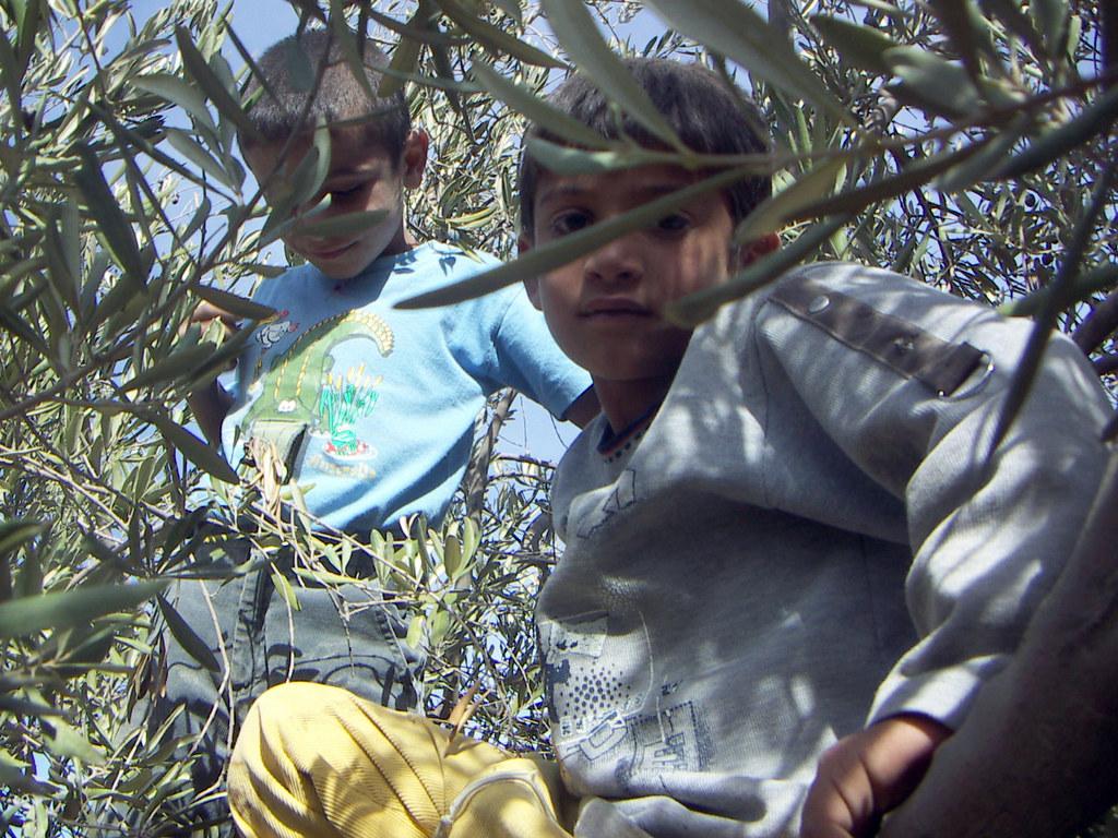 Palestinian kids harvesting olives