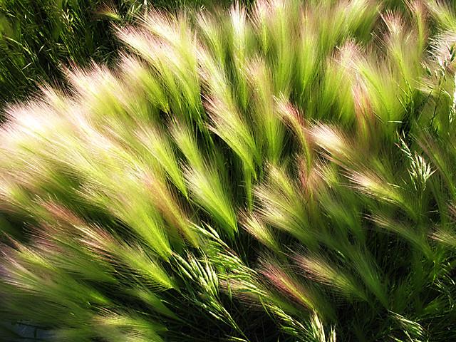 Foxtail Barley: South Dakota June 2008