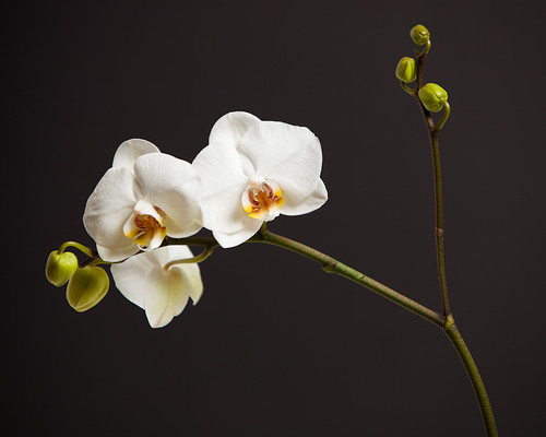 Orchid | by Ian_Hay