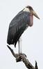 Marabou Stork, Leptoptilos crumeniferus, Kruger National Park by Derek Keats