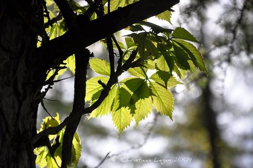 light sunlight tree green leaves sunshine spring branches backlighting mortonarboretum serrated hbw happybokehwednesday