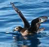 Providence Petrel, Wollongong Pelagic 26.4.08 (29) by Tobias Hayashi Photography