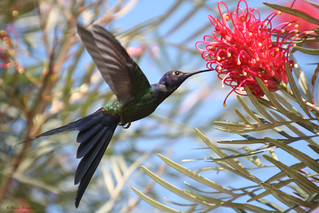 Beija-flor Tesoura (Eupetomena macroura) - Swallow-tailed Hummingbird - 120 - 23-03-2008 088