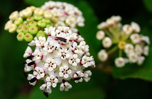 Asclepias variegata | by amy_buthod
