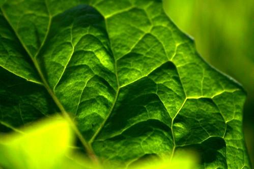Dandelion leaf | by tillwe