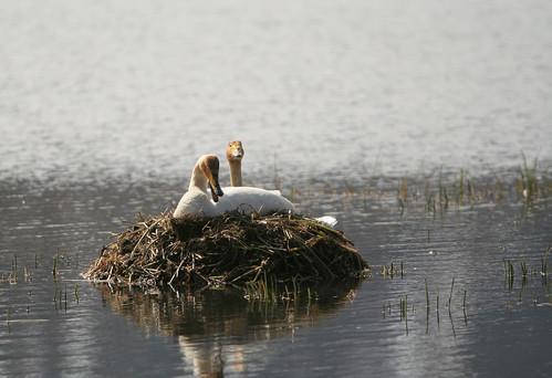 Svanir - Whooper Swan - Cygnus Cygnus on her nest | by Stinninn