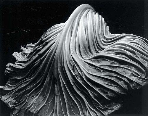 Edward Weston - Cabbage Leaf - 1931 - Gelatin Silver Print - 1968.7.2 | by eliseam30