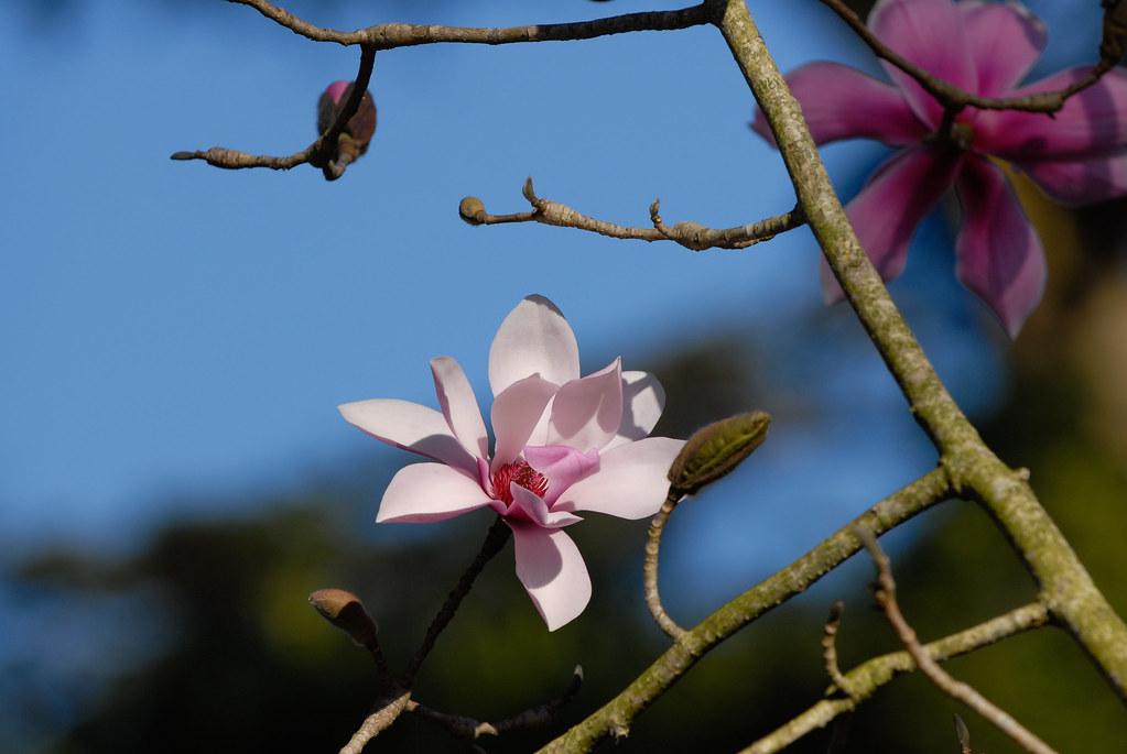 Magnolia Tree Golden Gate Park San Francisco Ca Cosmo Cheung