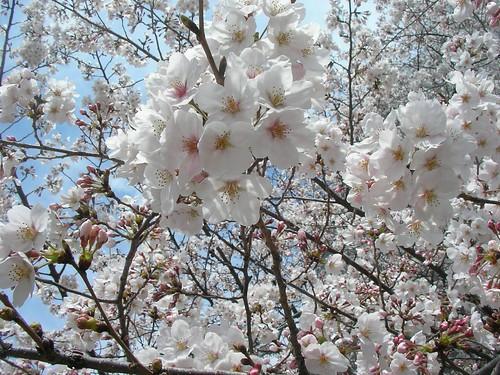 Cherry blossom viewing 花見(佃公園) | by jetalone