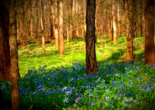park blue trees sunlight green nature field grass bluebells forest landscape virginia spring woods run bull va wildflowers vignette bullrunpark chrysti platinumphoto bullrunstatepark articulateimages platinumsuperstar