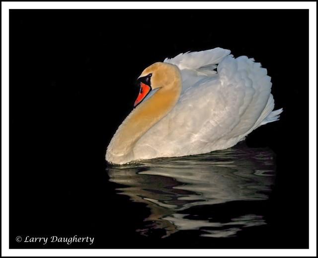 White Mute Swan  -  Lafreniere Park