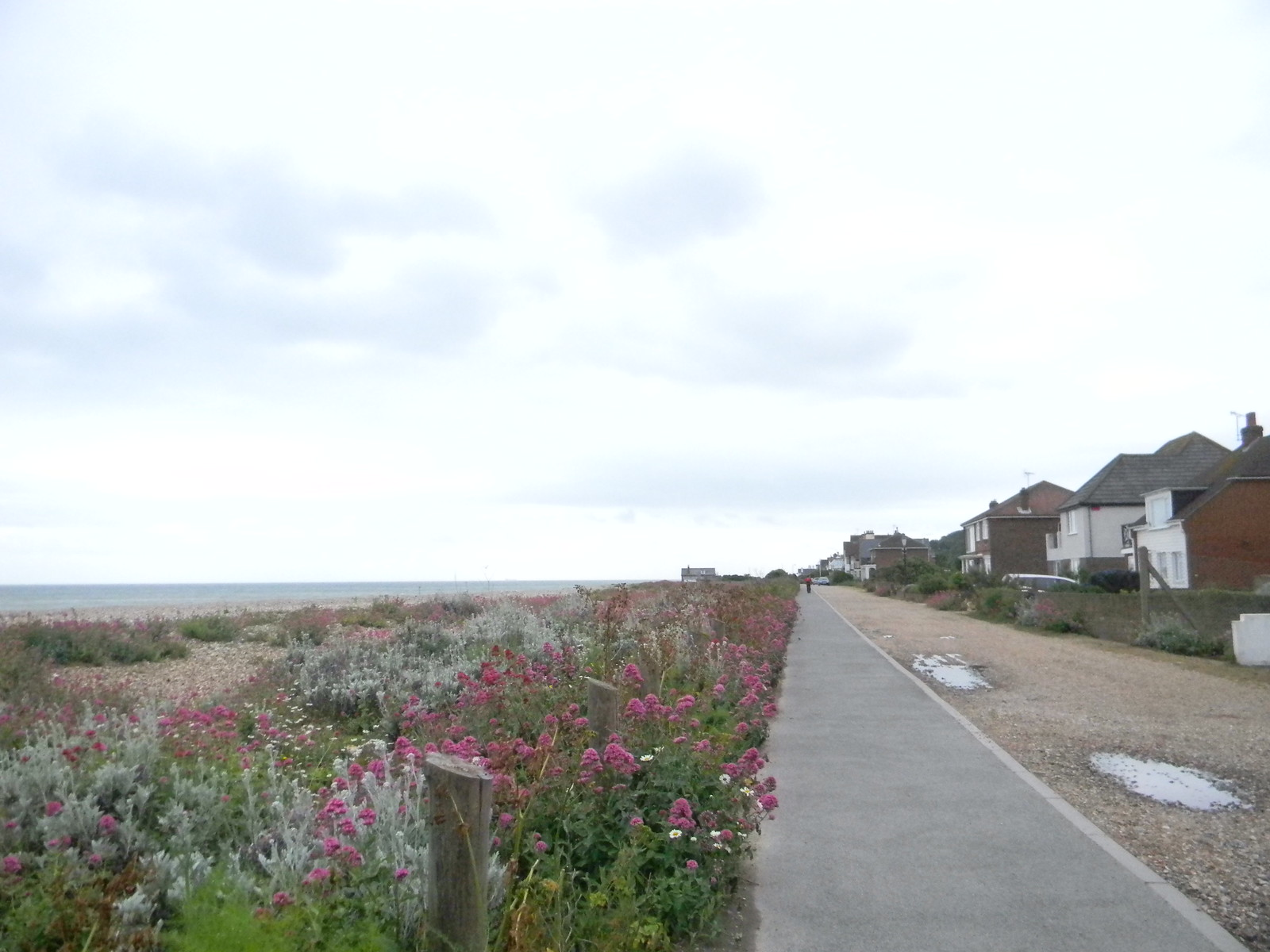 Silver ragwort and red valerian Deal to Dover