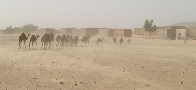 Chameaux et vent de sable