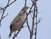 Hazel Grouse, female nominate by Pia's birdseye view