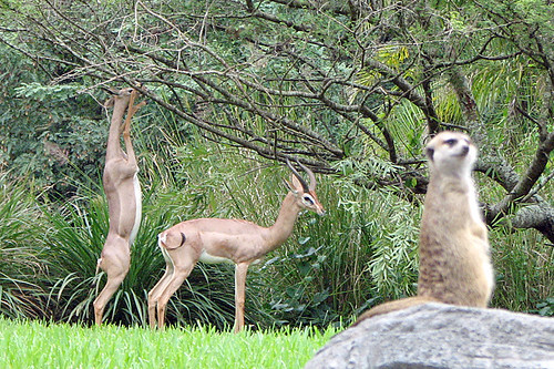 Gerenuks and meerkat | by Buckeye Beth