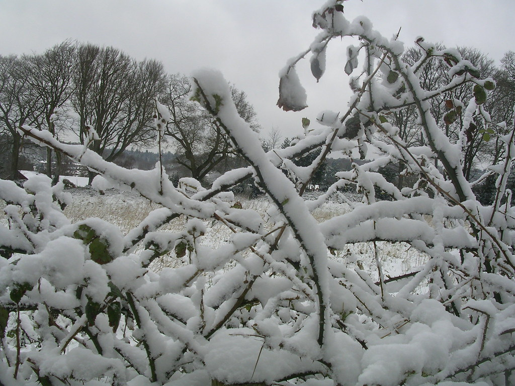Snow on hedge Haslemere Circular (silent walk)