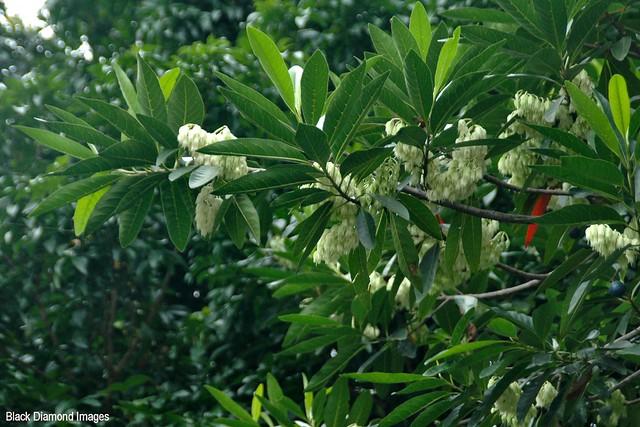 Elaeocarpus grandis (Elaeocarpus angustifolius) - Blue Quandong