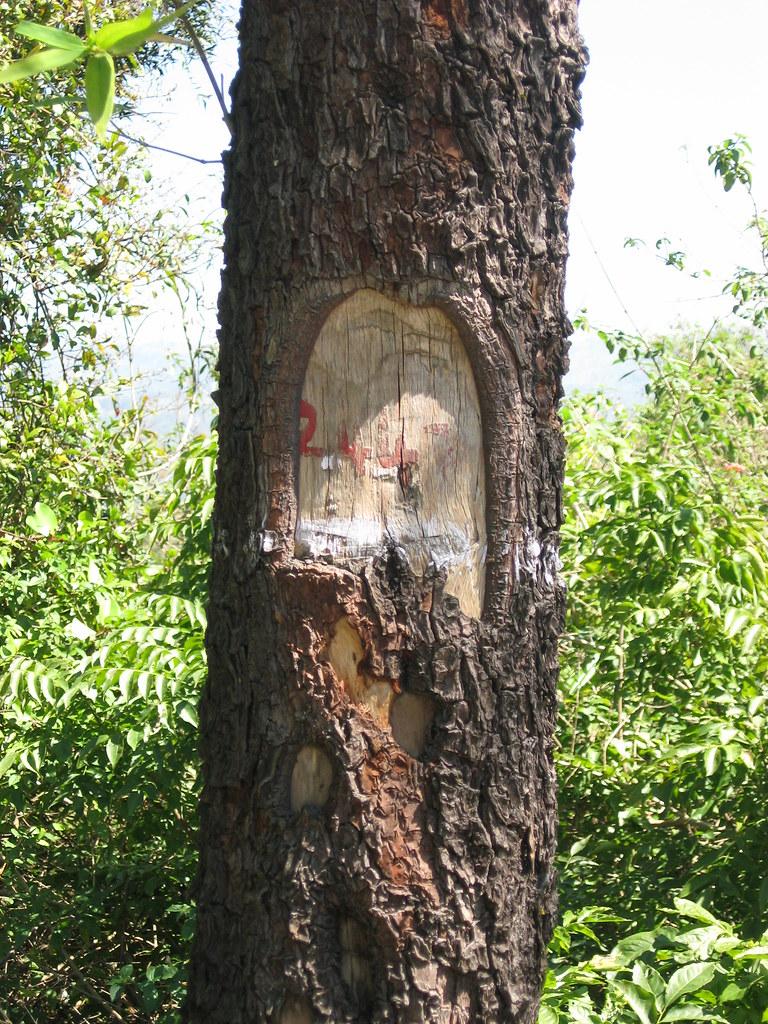 Sandalwood Tree - marked by the Forest Department | Kartik Surbhi