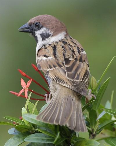 Eurasian Tree Sparrow - adult (Passer montanus malaccensis)