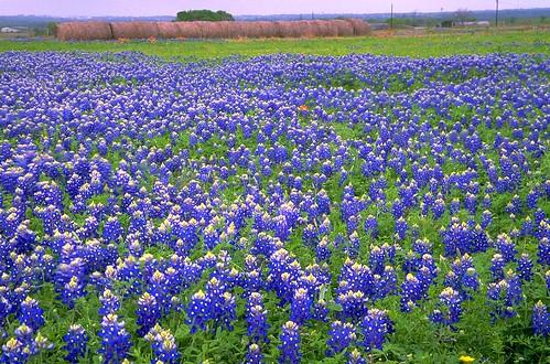 flower film landscape geotagged spring flora texas bluebonnet haystacks wildflowers bluebonnets lupine filmscan stateflower texaswildflowers lupinustexensis washingtoncounty texasstateflower tx50
