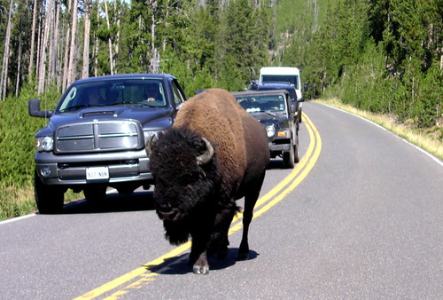 Bison Crossing. | by Naomi A.