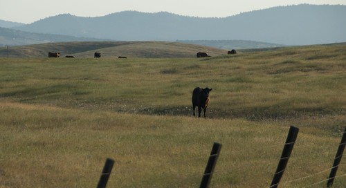 Merced sunrise cow
