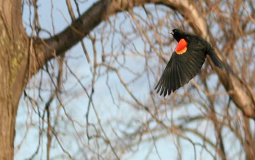 3220_redwing in flight