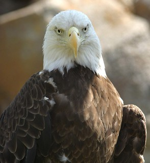 Bald Eagle | by hart_curt