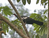 Red-throated Piping-Guan by Pia's birdseye view