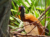 Crested ibis in the Masoala by Tambako the Jaguar