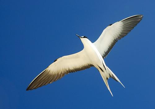 Seychelles - Sooty tern, Bird Island | by bodji