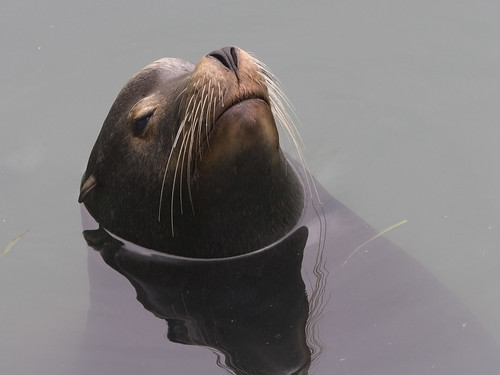 sea-lion-morro-bay_L | by mikebaird