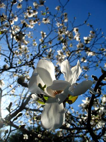 nh magnolia saintgaudens