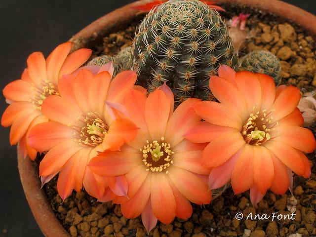 Rebutia pygmaea ourensis