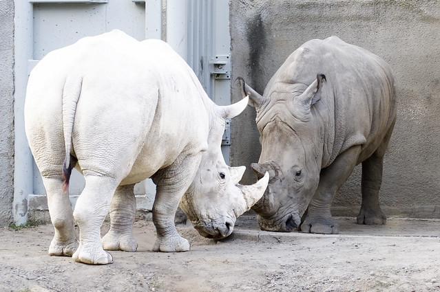 A Rare sight......Albino Rhino