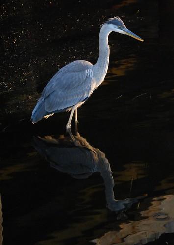 canada reflection bird nationalpark newbrunswick greatblueheron kouchibouguac nikonafsdxvr55200mm