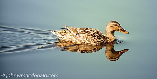 Duck   by johnwmacdonald