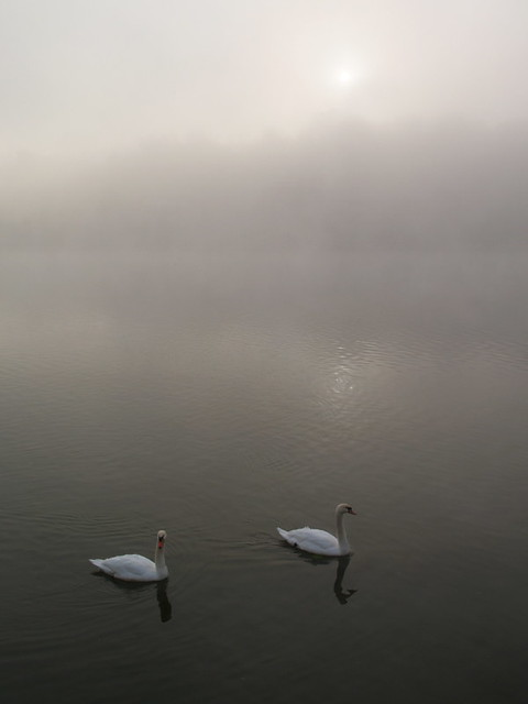 Swans in the misty morning