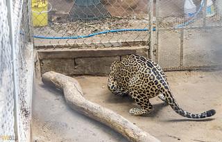 Jaguar Gamboa Wildlife Rescue pandemonio 2017 - 02 | by Eva Blue