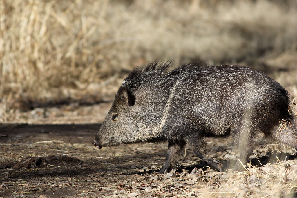 Javelina crossing the trail
