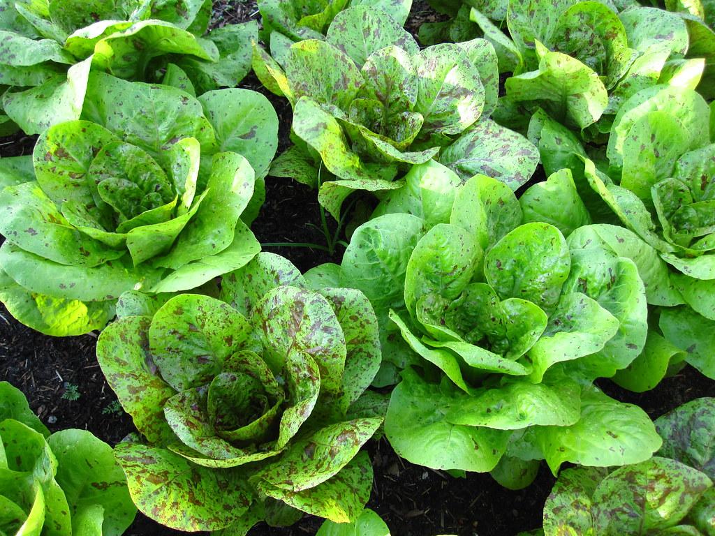 Speckled lettuce growing in the garden.