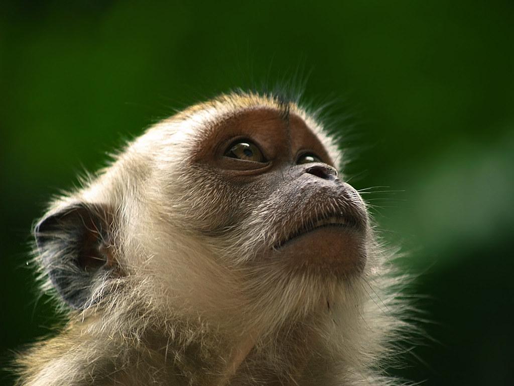 Cynomolgus Monkey (6th anniversary Getty Images edition) by Erik K Veland