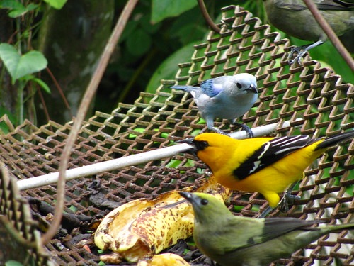 From top to bottom - blue-grey tanager, yellow oriole and palm tanager | by TaranRampersad