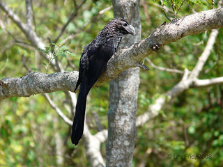 Smooth-Billed Ani | by Lev Frid